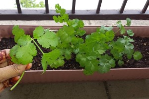 the green patio container gardening coriander